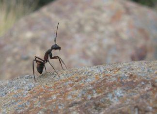 мравките