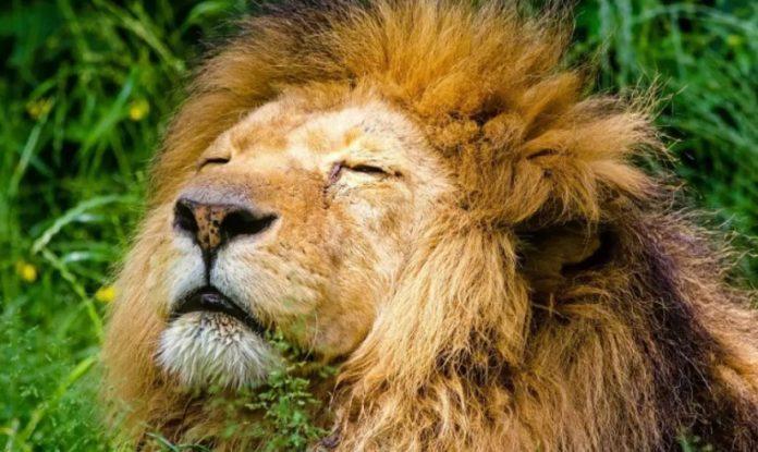 лъвовете факти