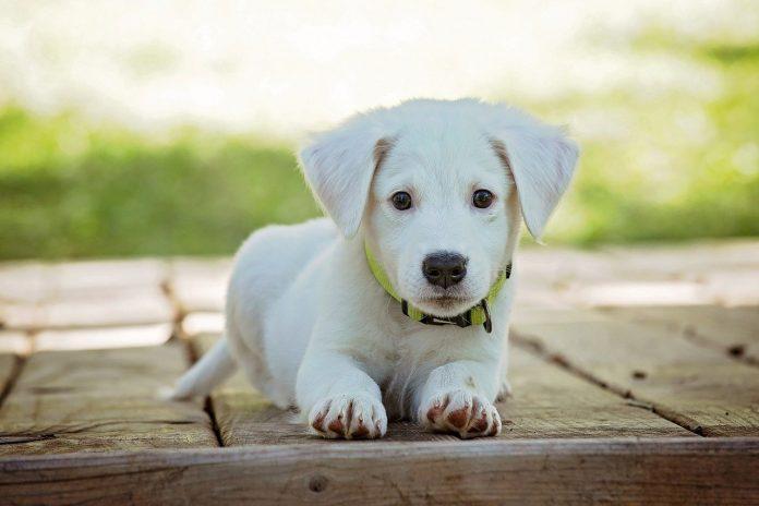 кученцето